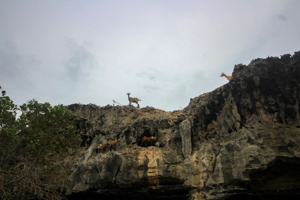 Goats on a cliff in Aruba