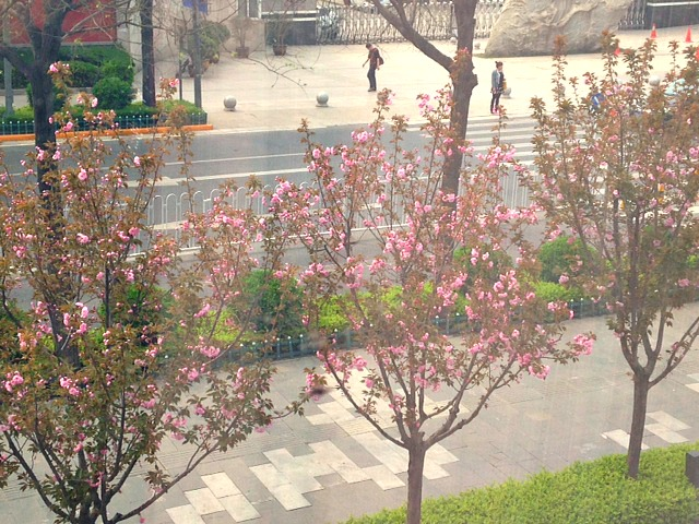 China: Now I understand #Spring. Pretty flowers blossoming all over the city.