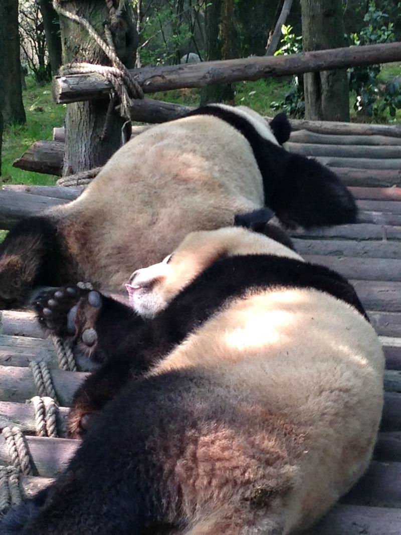 Pandas sleeping in Chengdu