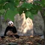 Pandas in Chengdu? Don't Mind if I Do!