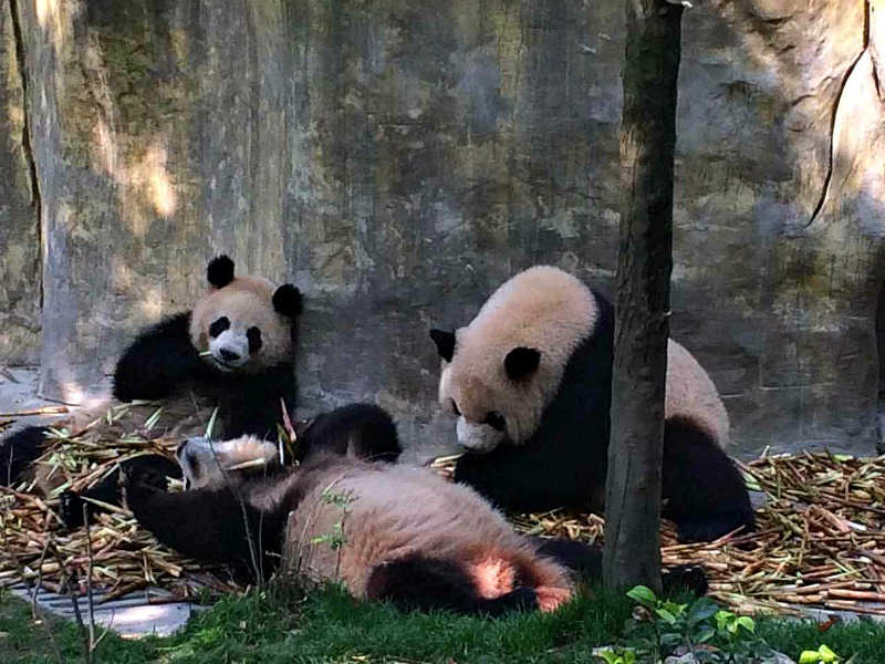 Pandas at research centre
