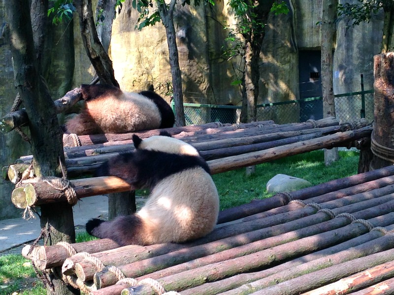 Two Giant Pandas in Chengdu