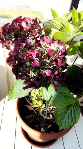 hortensia-kuistilla-2