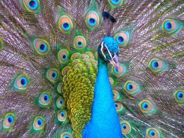 proud-as-a-peacock-mark-melnick