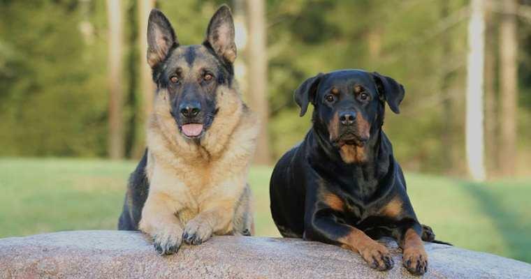 Why you need Rottweiler German Shepherd Mix