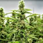 Tips to Grow Cannabis for Personal Use in Canada
