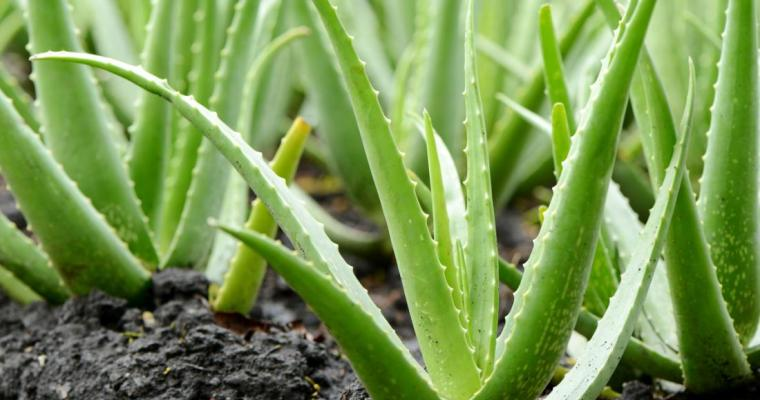 Aloe Vera Health Benefits – What Nature's 'First Aid Plant' Can Do for You