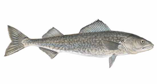 Buy sablefish for affordable price