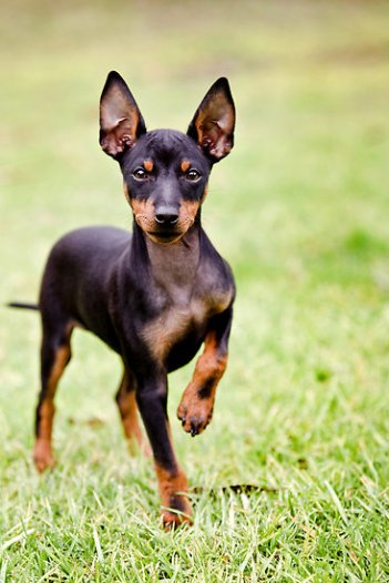 english-toy-terrier