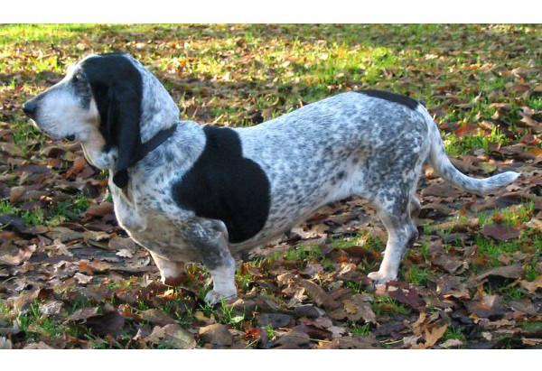 Basset azul de Gascuña - Raza de Perro