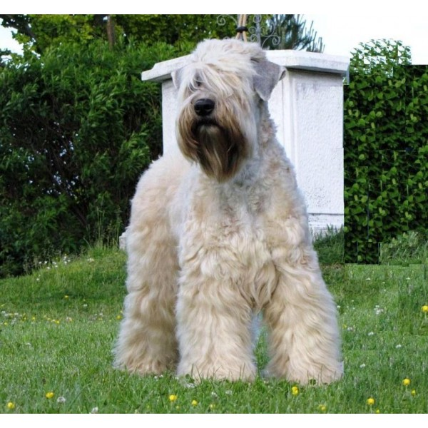 Irish Soft Coated Wheaten Terrier - Raza de Perro