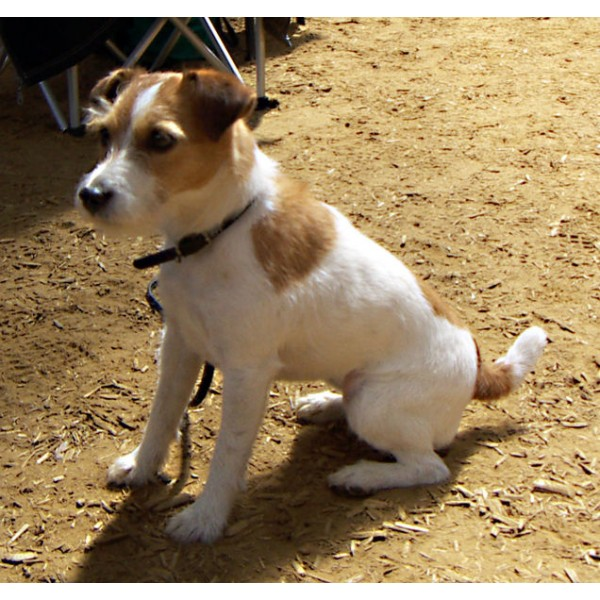Jack Russell Terrier - Raza de Perro