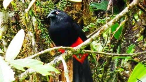Chango de montaña Colombiano (Hypopyrhus pyrohypogaster). Foto: Orlando Acevedo Charry.