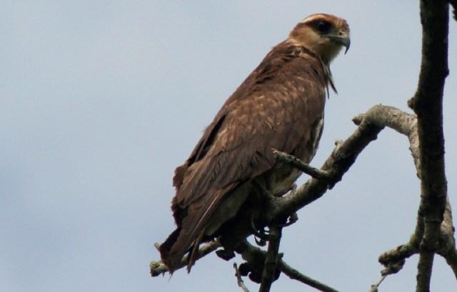 Foto: Águila pescadora (Pandion haliaethus). Esteban Carrillo