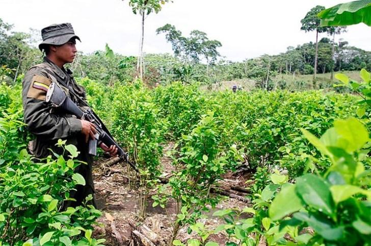 cultivo-de-coca