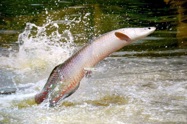 El pirarucú tarda en madurar sexualmente 5 a 6 años, factor limitante para su reproducción.(Foto: Archivo/VANGUARDIA LIBERAL)