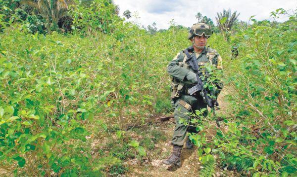 La meta de la sustitución voluntaria este año es de 50 mil hectáreas de coca. /AFP