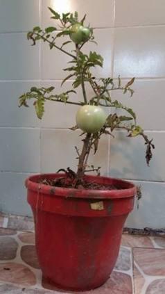 renacer tomates 3