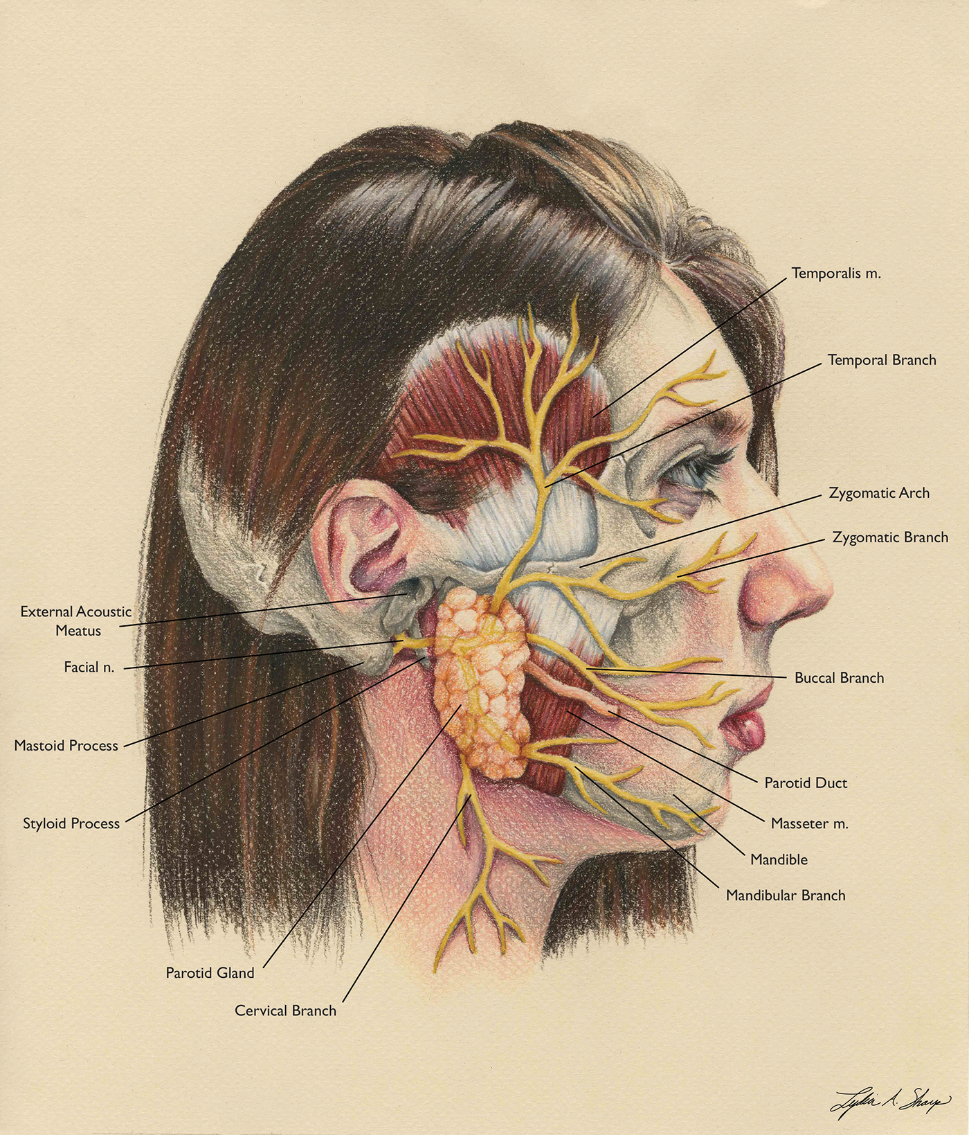 Facial Nerve Branches On Behance