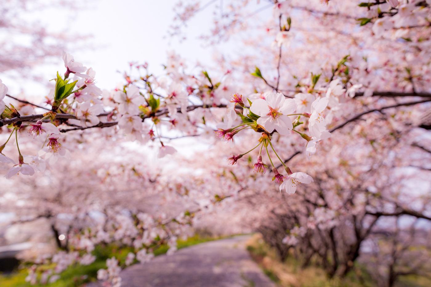 SAKURA(cherry blossom) 2018 on Behance