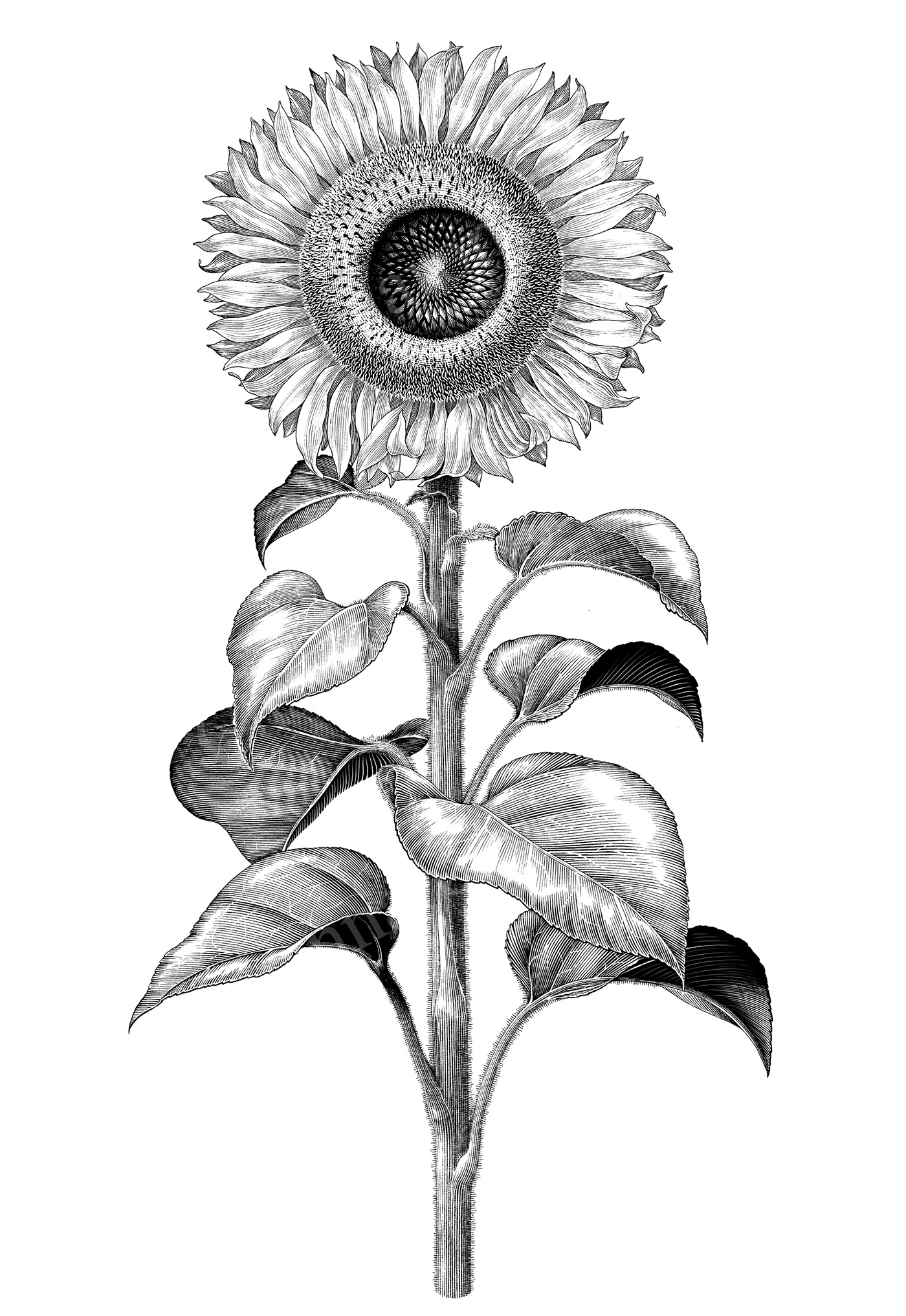 Sunflower Botanical Illustration Vintage Style On Behance