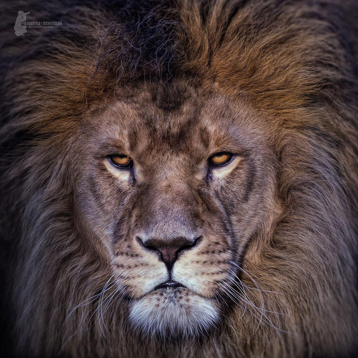 lion face on behance