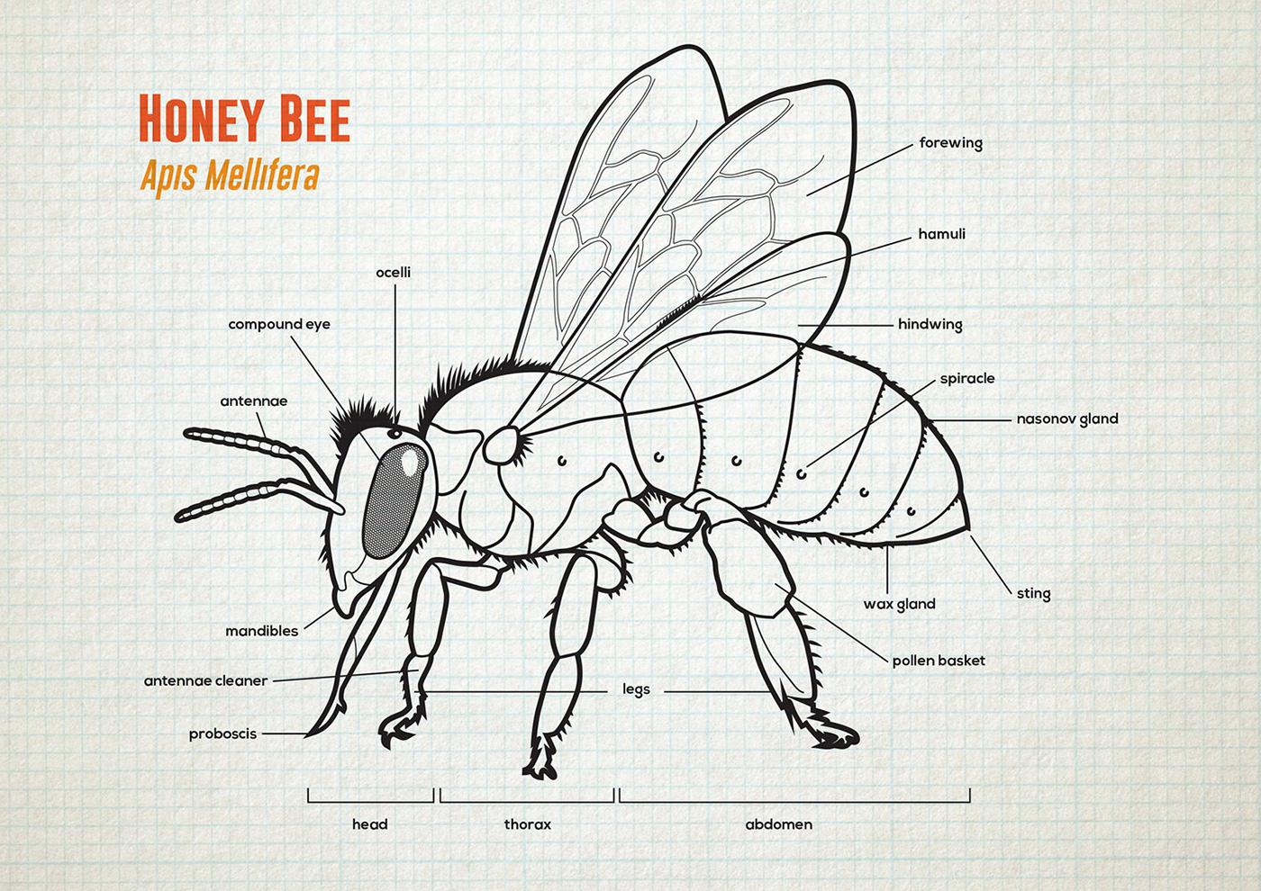 Honey Bee Anatomy Amp Lifecycle On Behance