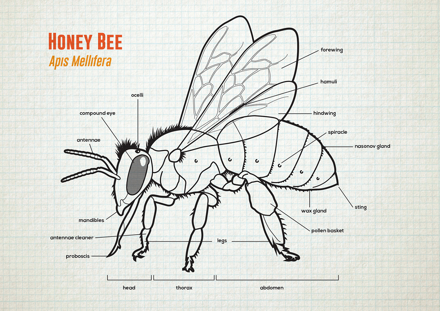 bumble bee diagram fungal cell labeled honey anatomy and lifecycle on behance