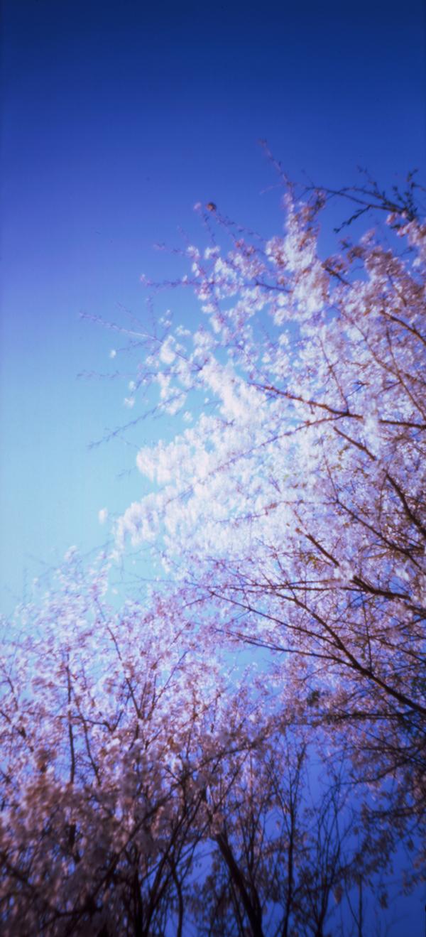 sakura(cherry blossoms) on Behance