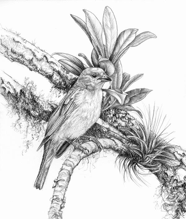 birds pencil drawings 2