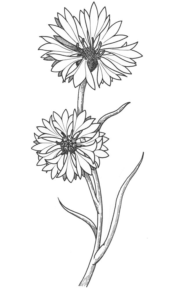The Cornflowers on Behance