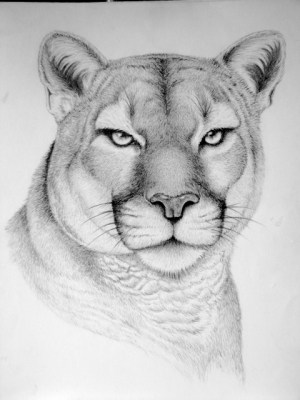 animal pencil drawings wild animals drawing sketches draw realistic faces easy horse behance wildlife google cool charcoal sketching horses shows