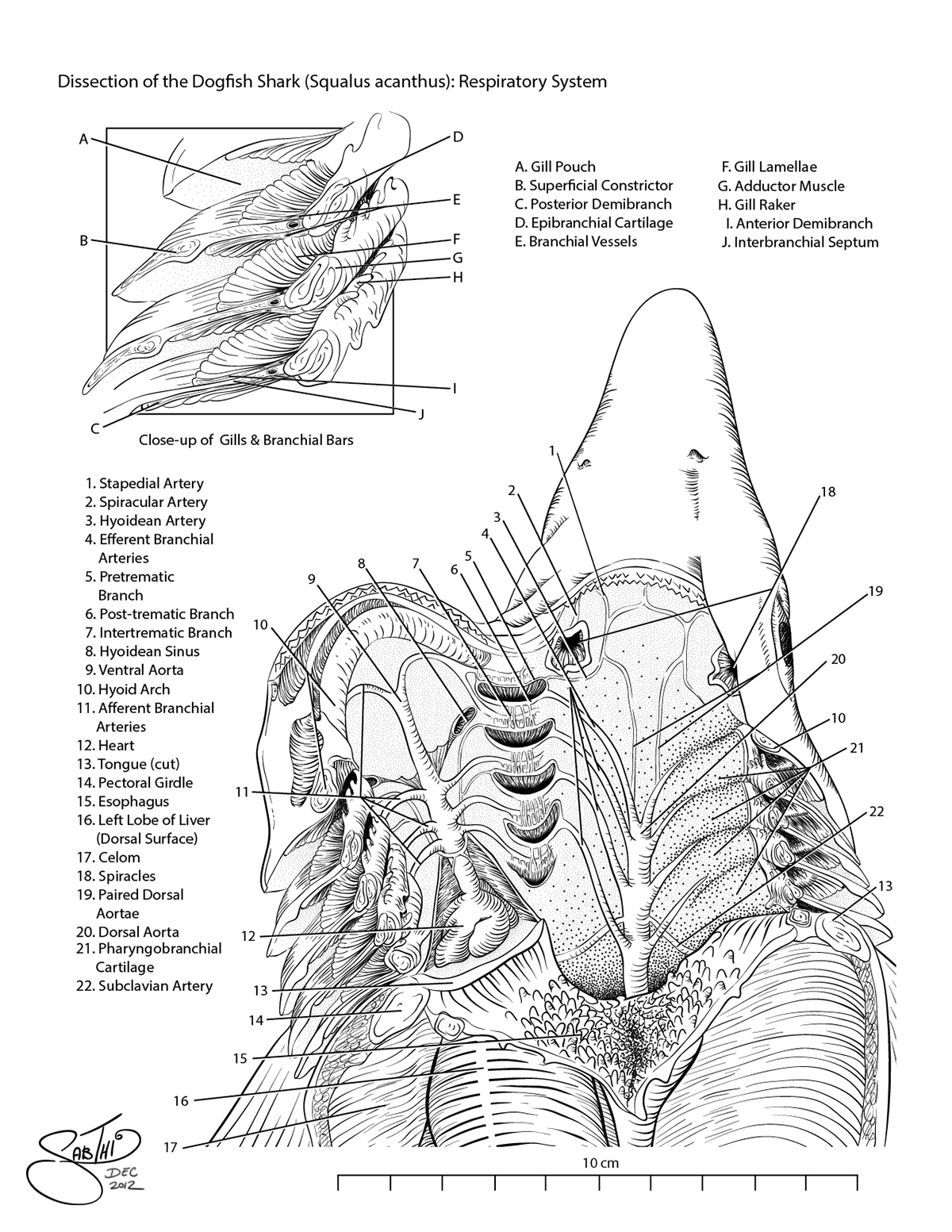 shark dissection guide diagram intertherm electric respiratory system of the dogfish on behance