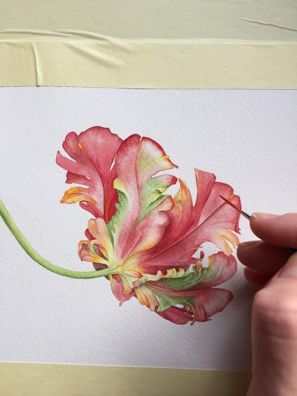 Parrot Tulip Watercolor Illustration Behance