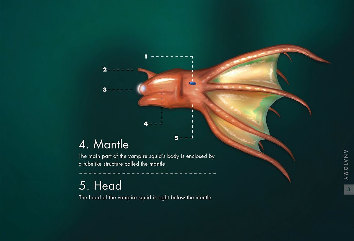 labeled squid external anatomy diagram ems stinger 4424 v4 wiring vampire on behance