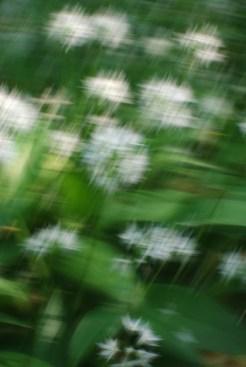 Allium artificialis