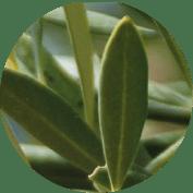 cercle-olivier