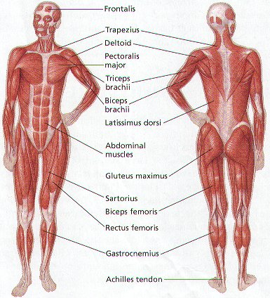 triceps brachii diagram 8n ford tractor wiring 6 volt the muscular system trapezius allows you to move your arm up and down deltoid main muscle in upper connected elbow is another