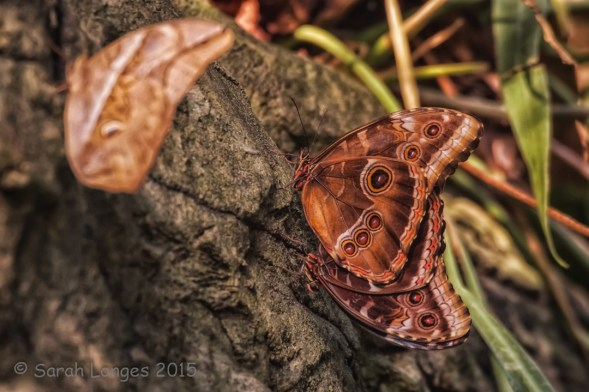 Mating Morphos