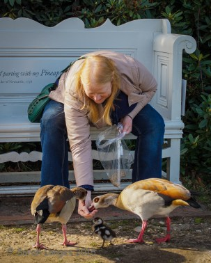 Mum feeding the Egyptian Geese