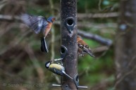 Chaffinch and Great Tit