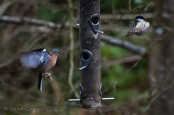Chaffinch and Coal Tit