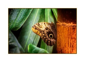 Owl Butterfly - Closed Wings