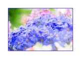 Blue Osteospermum