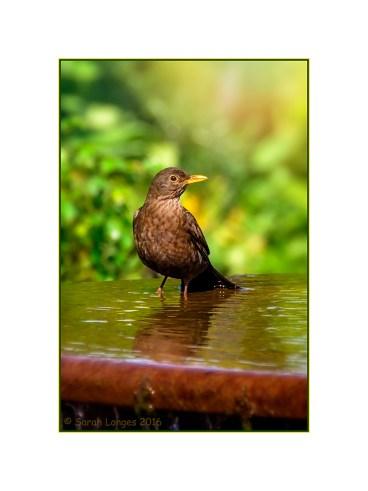 Blackbird in a water feature