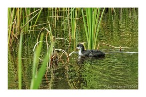 Cute Coot Chick!