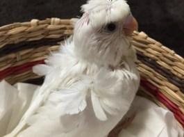 羽衣セキセイインコ ダブルファクターホワイト