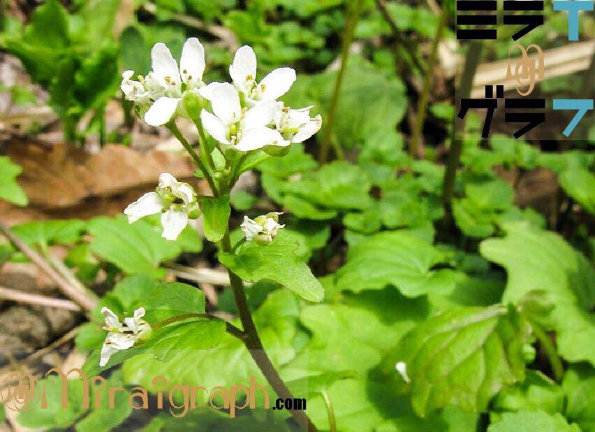 わさびの健康効果がすごい!!5月26日の誕生花はわさびの花