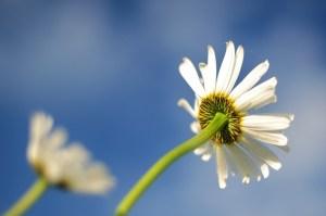 daisy-596765_960_720