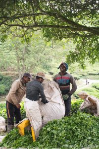 Plantaciones de Té. trabajadores